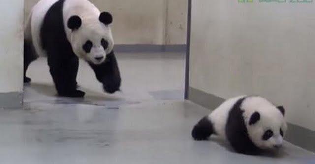 panda-mama-kicsinye