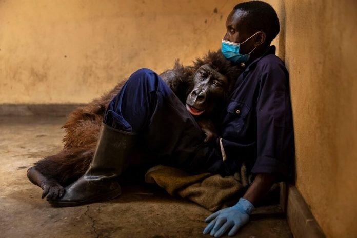 Érzelmes búcsú: a gorilla annak a vadőrnek a karjai közt halt meg, aki kölyökkorában megmentette